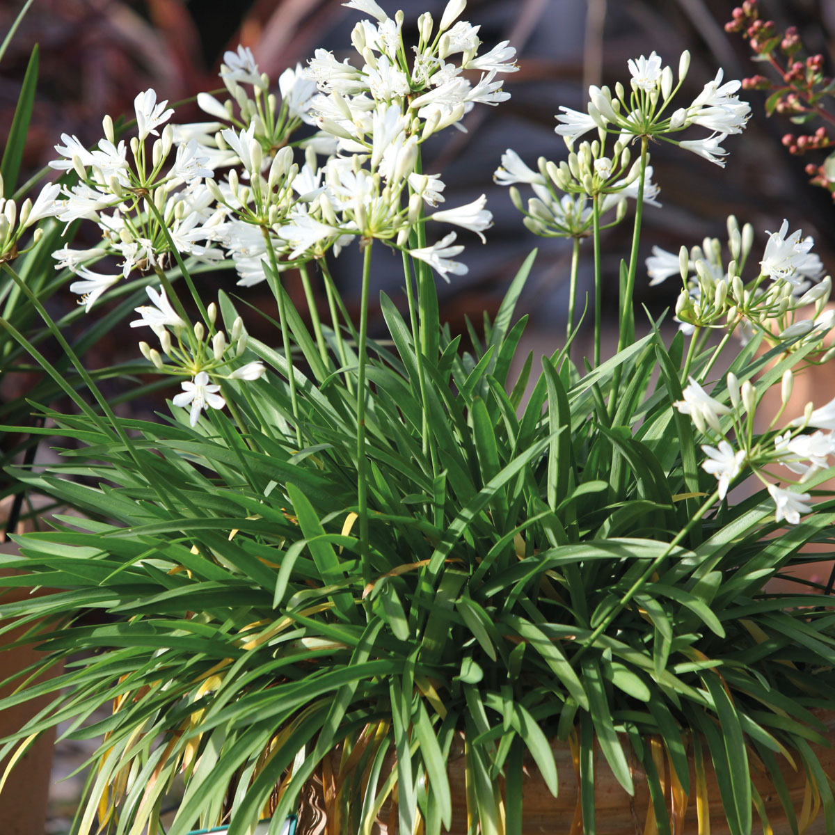 Agapanthus - hybride - Double Diamond