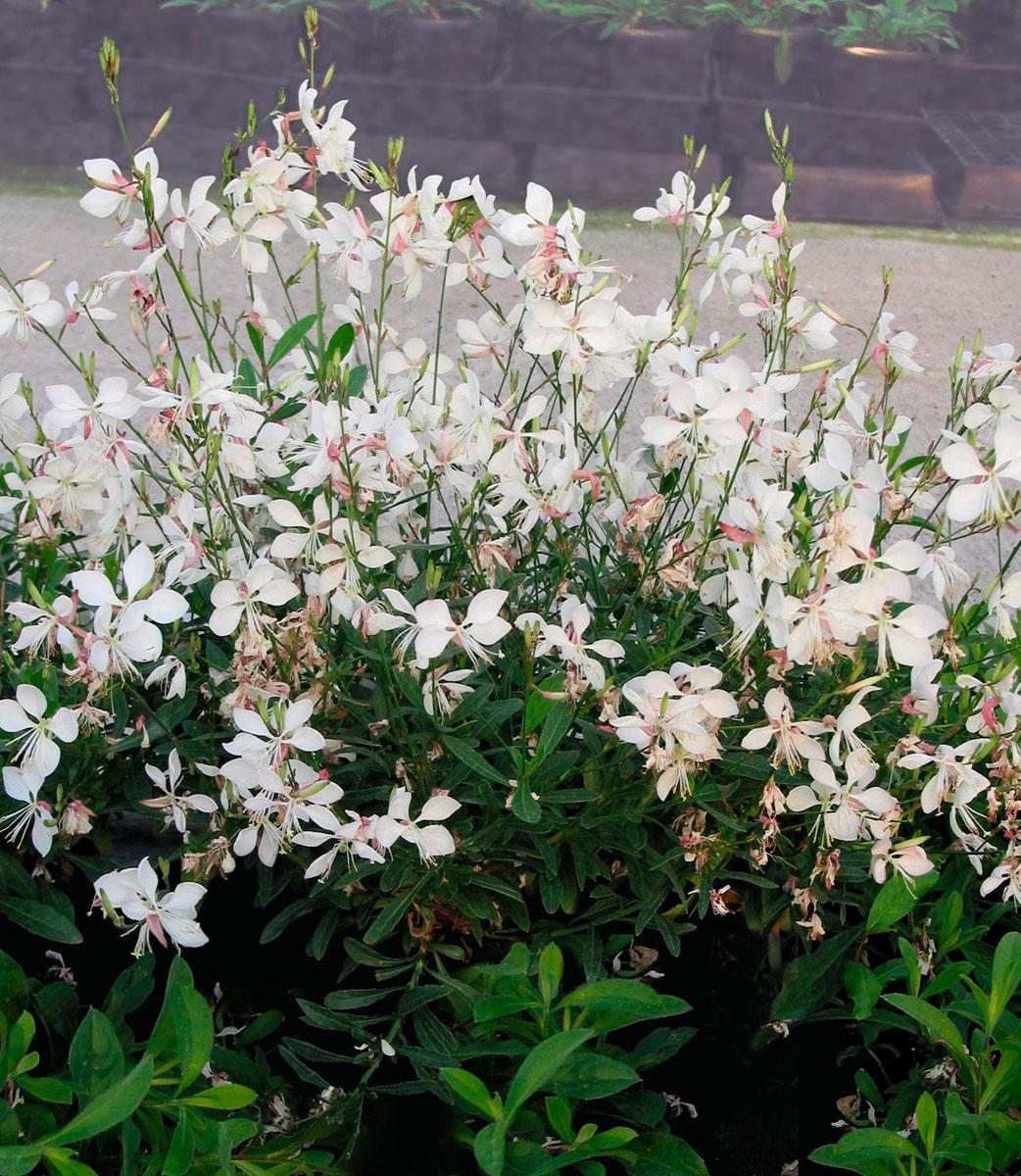 La collection globe planter gaura walberton 39 s snow for Catalogue plantes vivaces