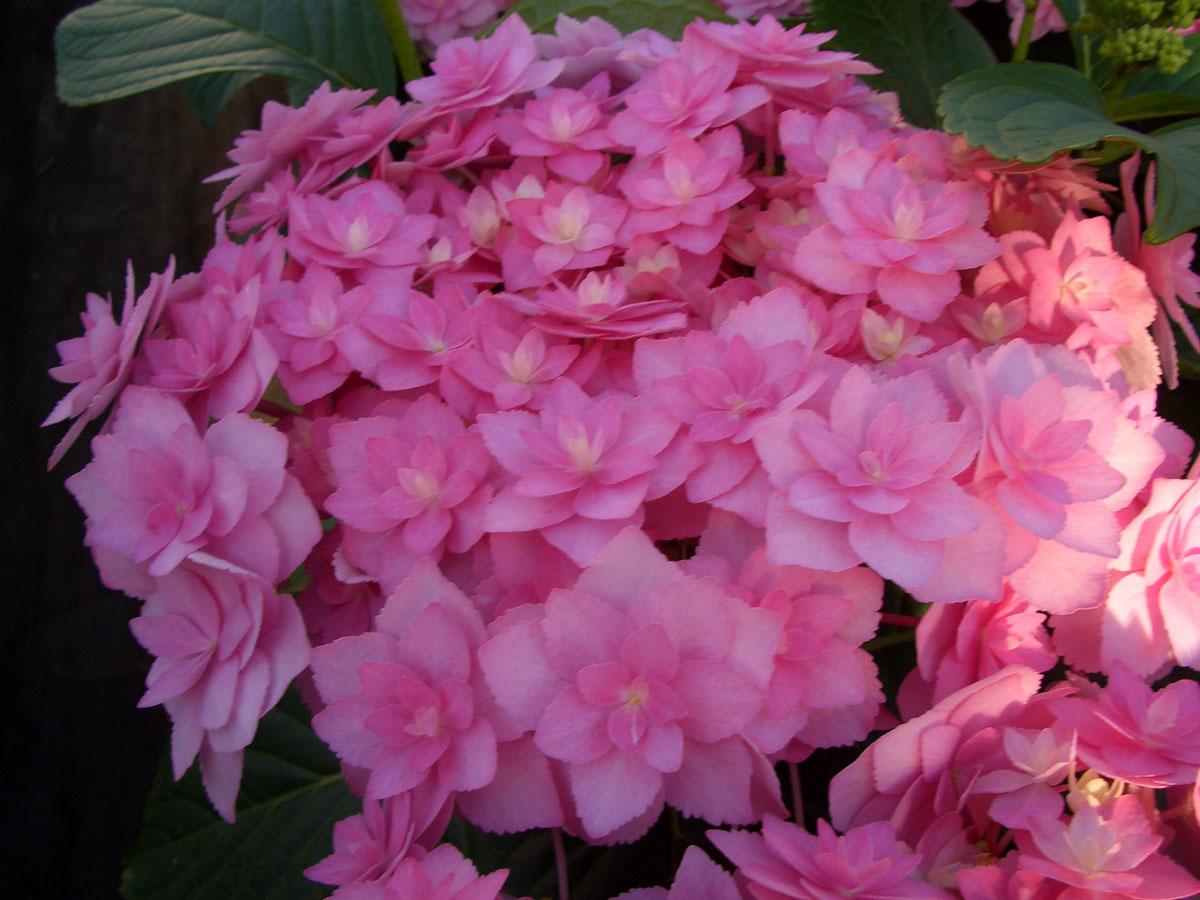 foto de La collection Globe planter Hortensia YOU&ME® Expression
