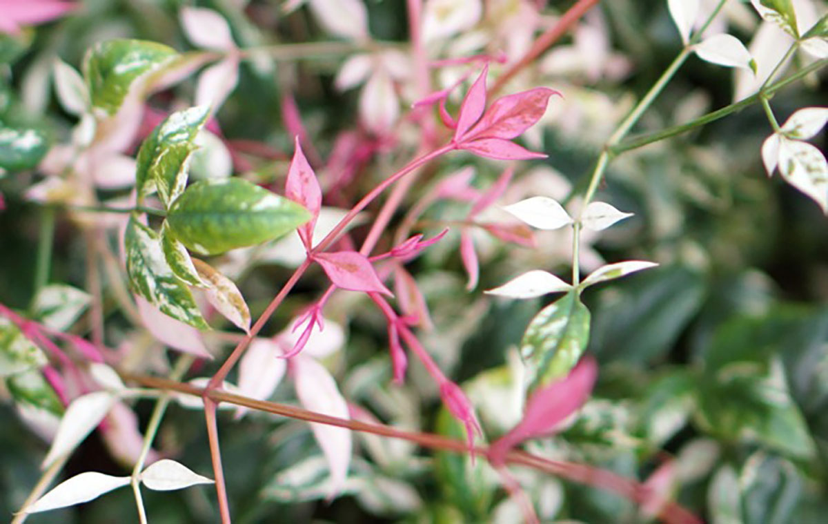 Nandina - SENSATION® - Twilight