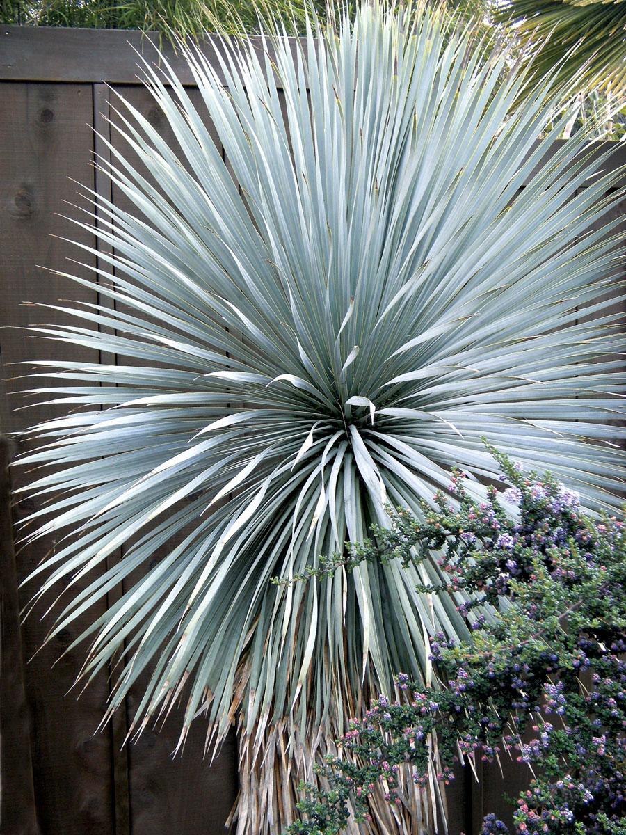 Yucca Rostr 233 Sapphire Skies Globeplanter