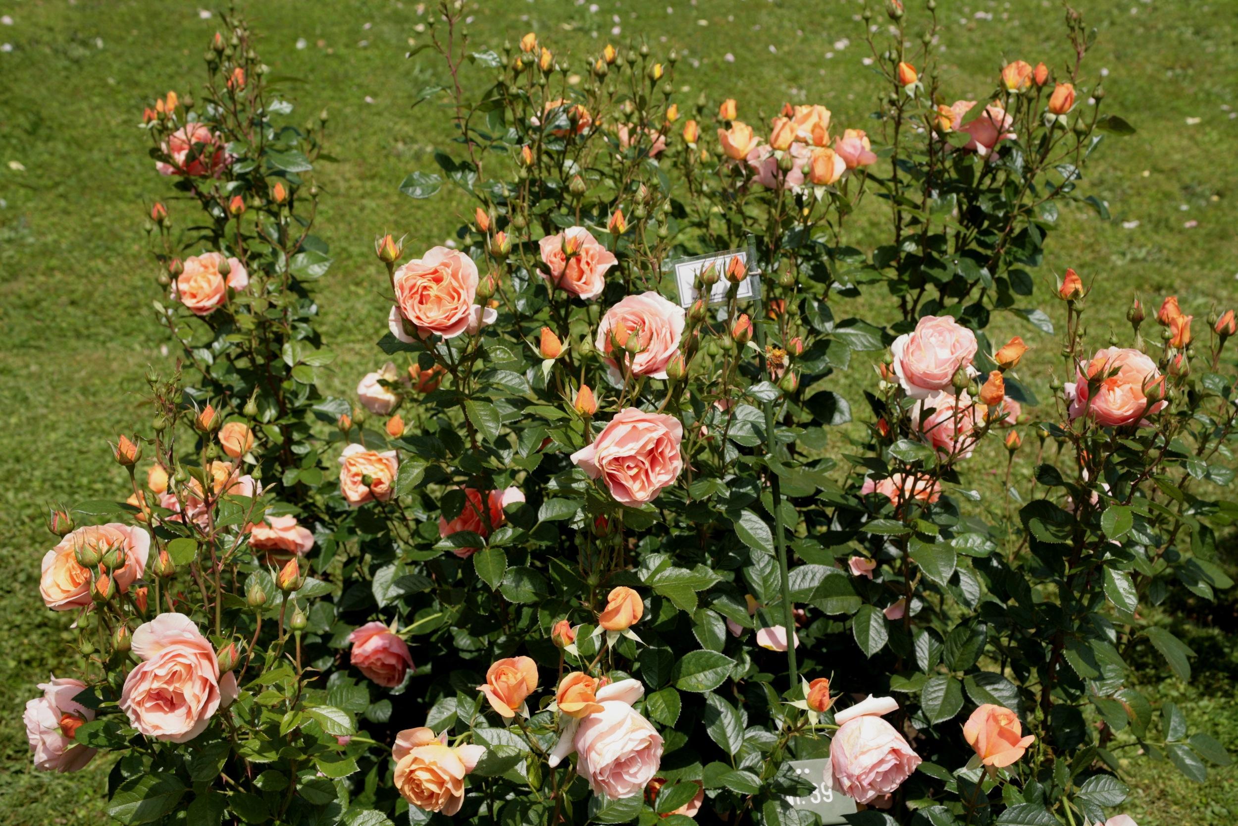La collection Globe planter - Rosier - a Buisson et Isolé ...