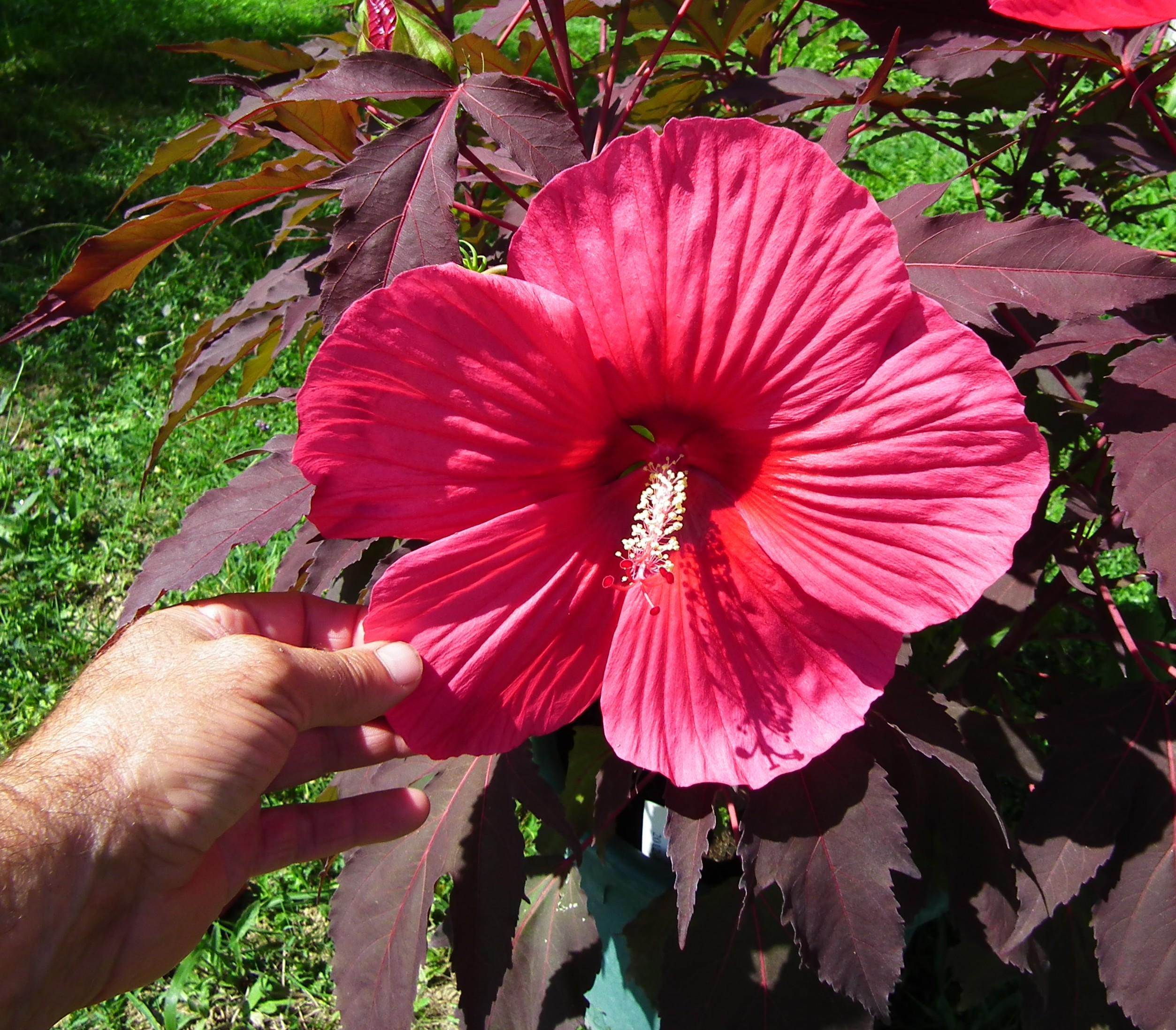 La collection Globe planter - Hibiscus - CARROUSEL® - Pink ...