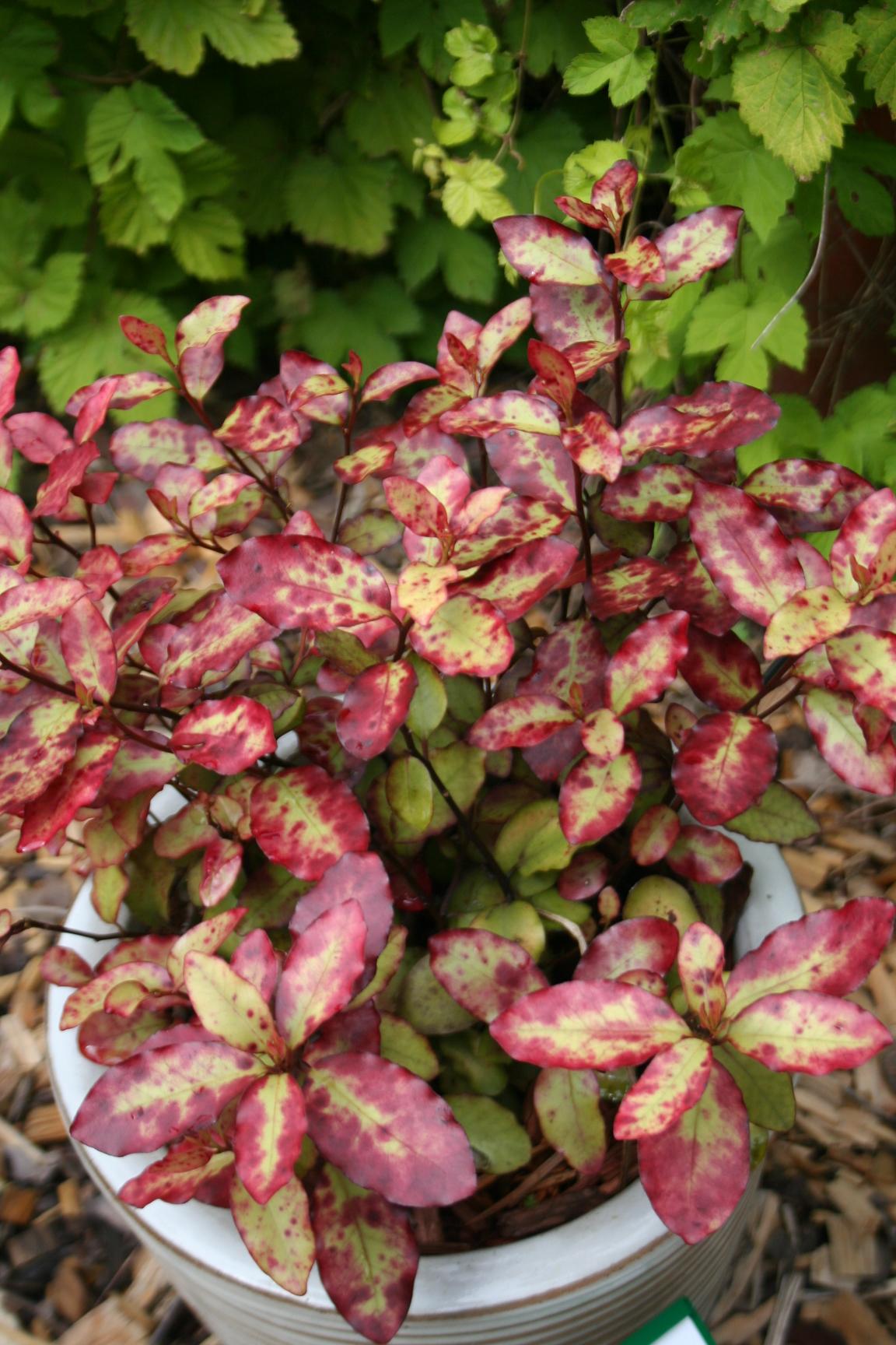 Arbuste Persistant En Pot Plein Soleil la collection globe planter - pseudowintera - red leopard