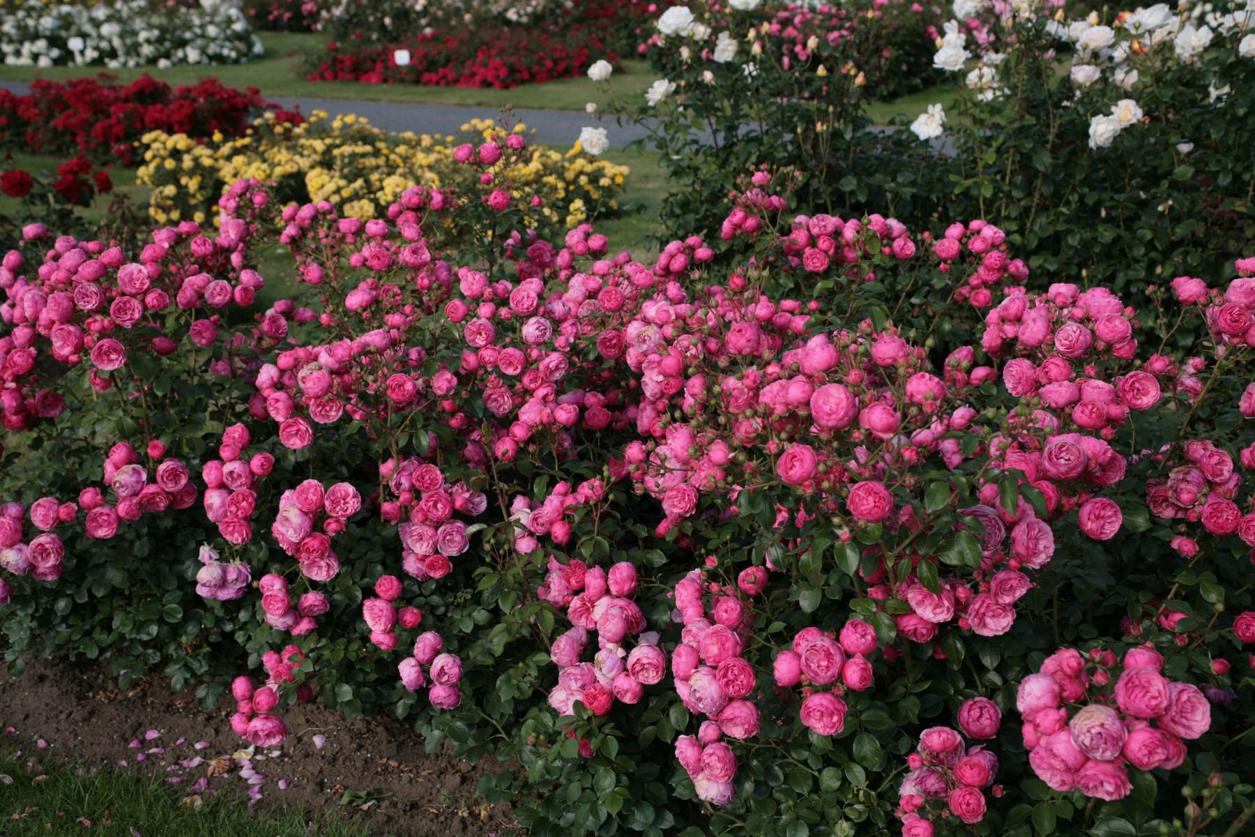 la collection globe planter rosier roses feeriques